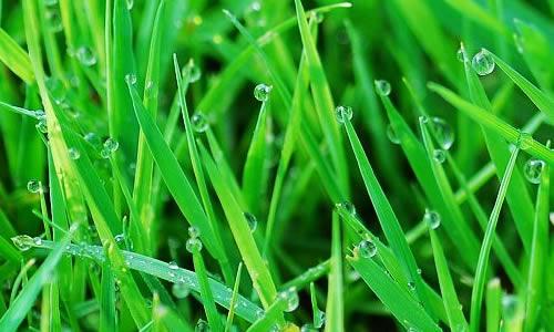 壁纸 草 成片种植 风景 绿色 植物 种植基地 桌面 500_300