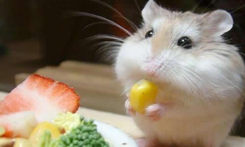 小仓鼠的生活习性作文