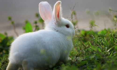 我家养了一只小白兔,这只小白兔很可爱