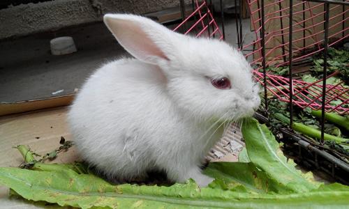 小白兔的特点作文150字