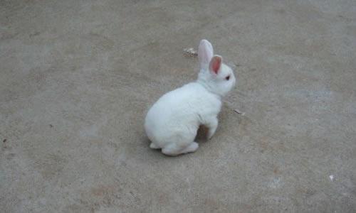 小白兔真可爱作文450字