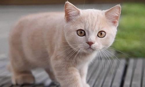 壁纸 动物 猫 猫咪 小猫 桌面 500_300