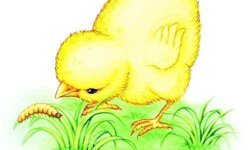 小鸡吃虫子作文