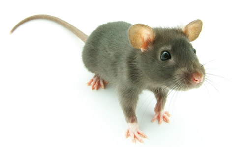 小老鼠上学三年级作文