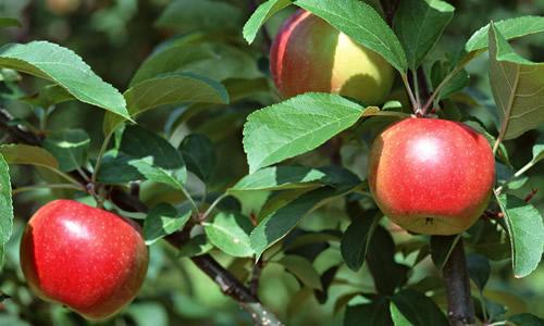 小苹果树请医生作文
