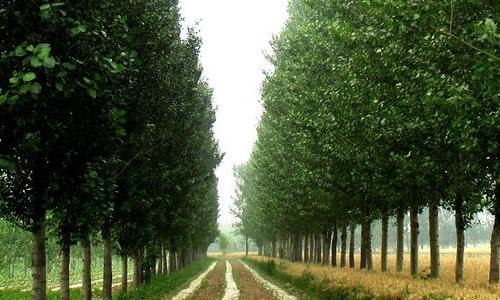 梦见杨树长满了绿叶