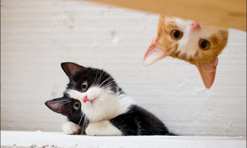 壁纸 动物 狗 狗狗 猫 猫咪 小猫 桌面 500_300