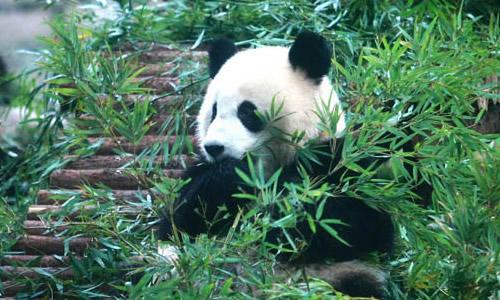 熊猫吃竹子作文一年级