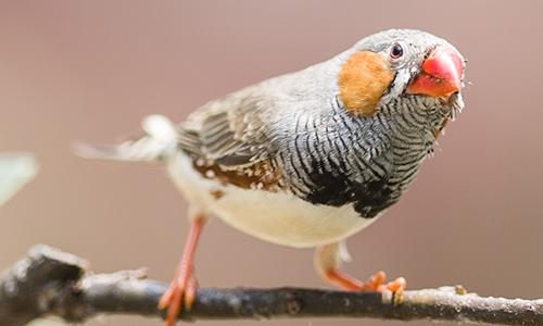 我很喜欢小鸟,喜欢他们清脆悦耳的歌声,喜欢那种鸟语花香的场景。我最喜欢的是珍珠鸟。 珍珠鸟是一种小巧、可爱的鸟,珍珠鸟的种类很多,我只介绍一下金山珍珠鸟,它的学名叫斑胸草雀,又叫锦花鸟、锦华鸟、小珍珠。现在,珍珠鸟已成为人们喜爱的笼养种类,因为它养起来非常容易,用山东话说就是泼辣。