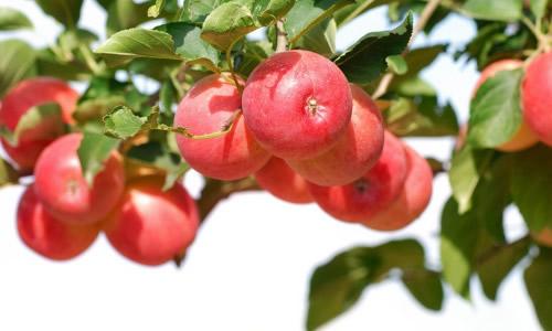 写苹果树的作文800字
