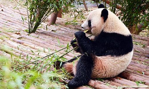 可爱的小熊猫在吃竹子简笔画