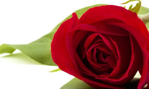 描写玫瑰花的古诗-写玫瑰的作文800字