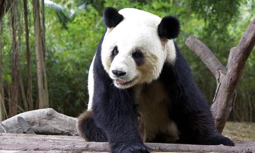 熊猫真是一种可爱的动物