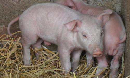 写猪的作文600字