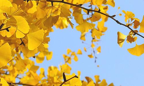 银杏树的作文300字