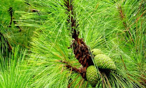 松树的叶子象针一样,做像松树一样有内在品质坚强
