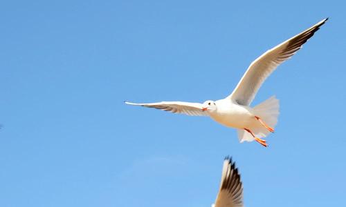 可它不会飞来了,看像似上我的圈套不敢过来,真是聪明又可爱的白海鸥啊