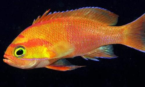 印度尼西亚海域的一条拟花鮨,是《东印度群岛的珊瑚礁鱼》中介绍的25种新发现的鱼类种群之一.