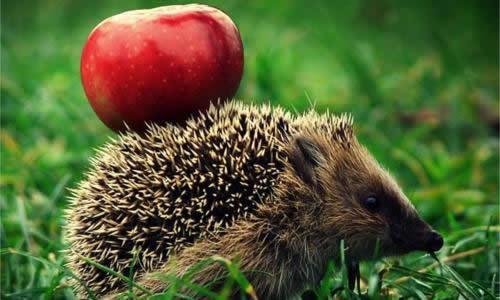 刺猬身上的果子自己怎么拿下来