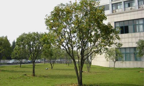 语文s版四年级下册语文第二单元作文:校园里的树
