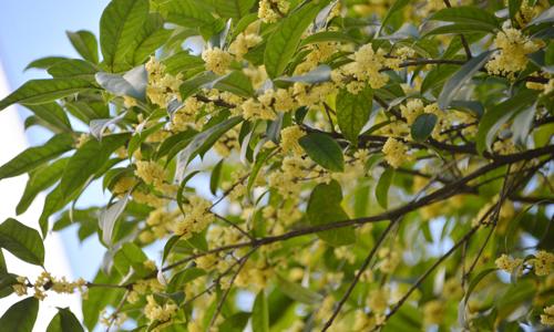 语文s版四年级下册语文第二单元作文:校园的桂花树