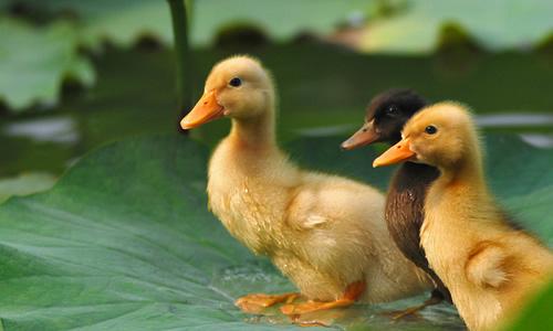 小鸭子   我姨送给我两只小鸭子