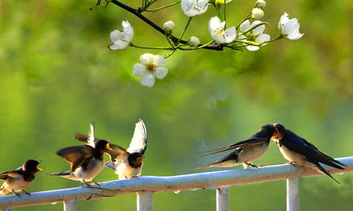 春天来了,到南方的小燕子飞回来了.