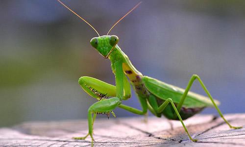 螳螂翅膀简笔画