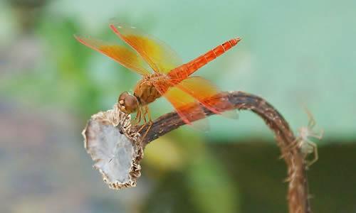 蜻蜓姬的大�_蜻蜓作文600字