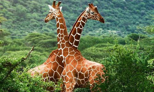 长颈鹿的眼睛和别的动物不同,它棕色的眼球是凸出来的,视力非常好,还