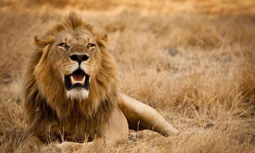 狮子全身长着棕色的短毛,像披着一件毛衣,狮子的头小小的,外面是一圈