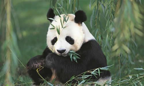 答:我国有许多珍贵的动物,最可爱的要算大熊猫了.