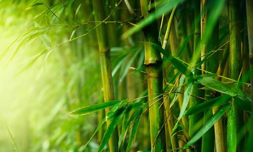 我爱竹子作文600字