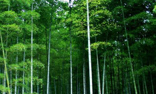 描写竹子的作文300字