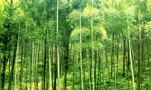 写竹子的作文1500字
