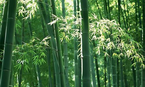 写竹子的作文600字