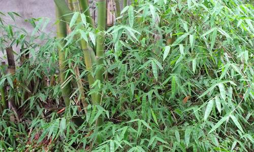 竹子的秘密作文300字
