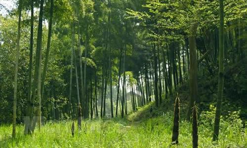 美丽的竹林作文300字图片