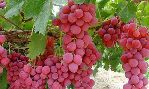 我爱家乡的葡萄作文