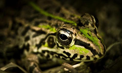 哪种青蛙是国际保护动物图片