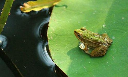 观察青蛙的作文300字