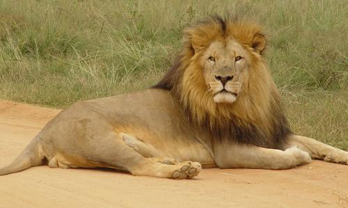 书通网 作文 话题作文 > 狮子作文800字   过了几天,狮子又遇到了大象