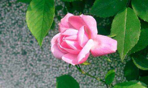 我们院的后墙有一大片的蔷薇花,到了春天,枯黄的枝条抽出了嫩红的叶子