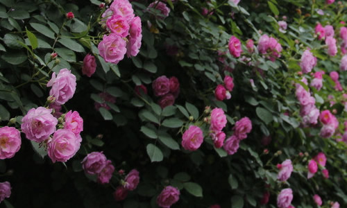 蔷薇花长得比以前更茂盛了,细长的枝条上面点缀着一片片嫩绿的小叶子