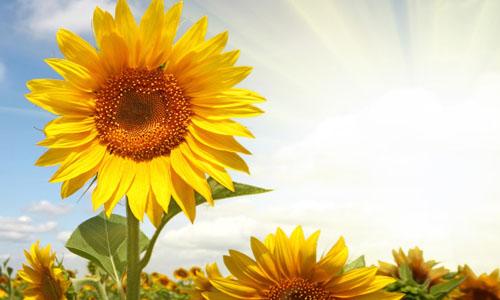 描写梵高向日葵的作文
