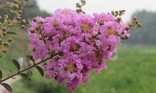 松树雄球花结构图