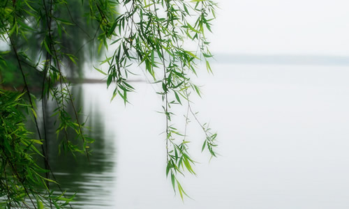 垂柳 柳树 树 500_300