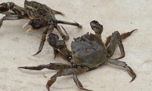 蟹脐三角形的,准是螃蟹先生;蟹脐圆形的,是螃蟹小姐没错.