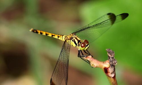 苏教版三年级下册语文第六单元作文:保护蜻蜓