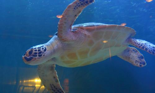 描写乌龟游泳的作文400字